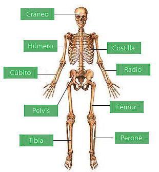 Huesos más importantes del sistema óseo humano