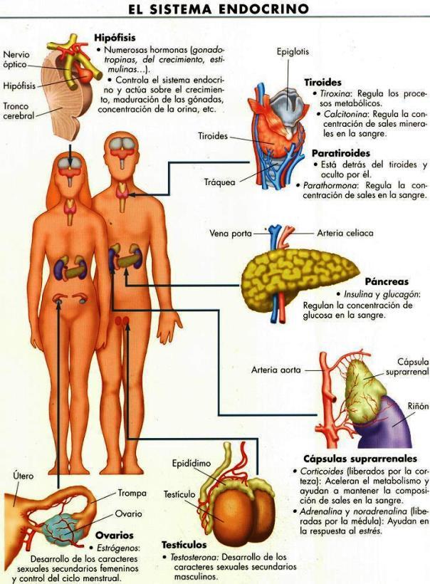 Imágenes del sistema endocrino