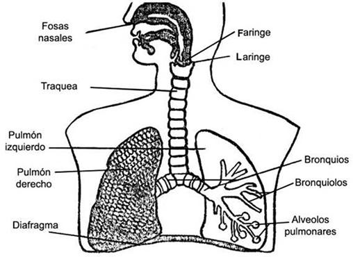 Imágenes del Sistema Respiratorio para colorear