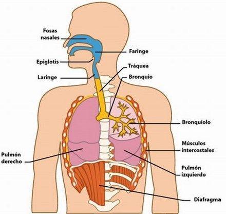 Imágenes del Sistema Respiratorio