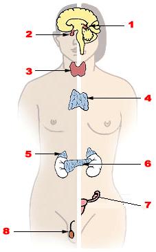 Imágenes del sistema endocrino partes