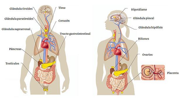 Cuáles son las partes del sistema endocrino