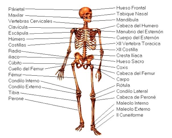 Cuáles son las partes del sistema óseo