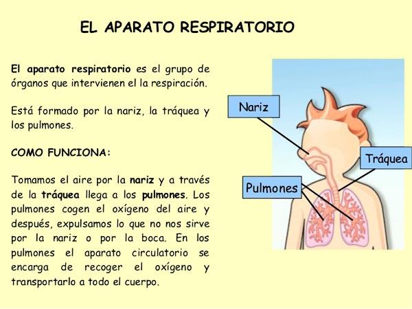 Cómo es el proceso de respiración humano