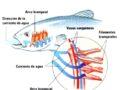 Sistema respiratorio de los peces