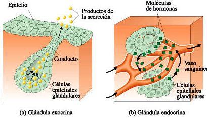Diferencias entre el sistema endocrino y exocrino