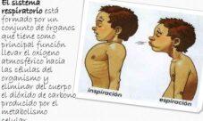 Importancia del sistema respiratorio humano