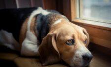 ¿Cómo restablecer la flora intestinal en perros?