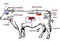 Sistema endocrino de los animales