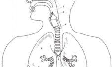 Sistema respiratorio para colorear