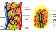 ¿Cuál es la función de los vasos linfáticos?