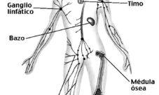 Sistema linfático para colorear