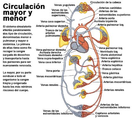 Funciones del sistema cardiovascular