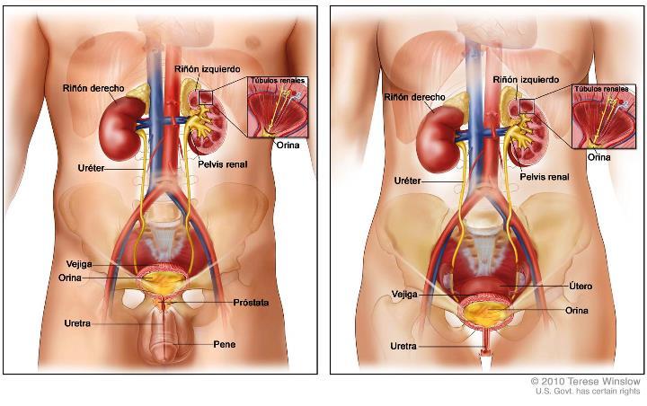 Imágenes del sistema urinario