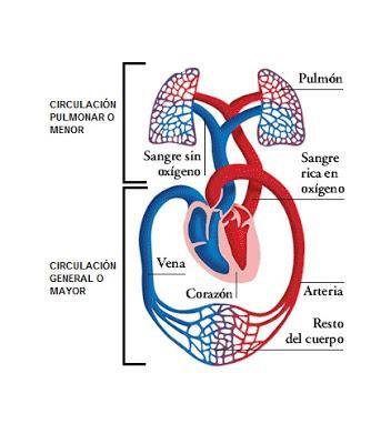 Imágenes del sistema cardiovascular