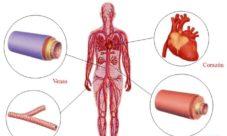 Órganos del sistema cardiovascular
