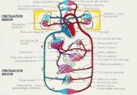 Partes del sistema cardiovascular