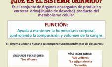 ¿Qué es el sistema urinario?
