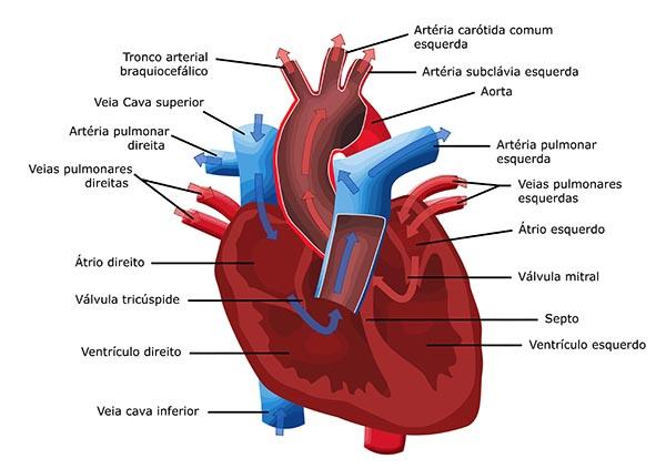 ¿Qué es el sistema cardiovascular?