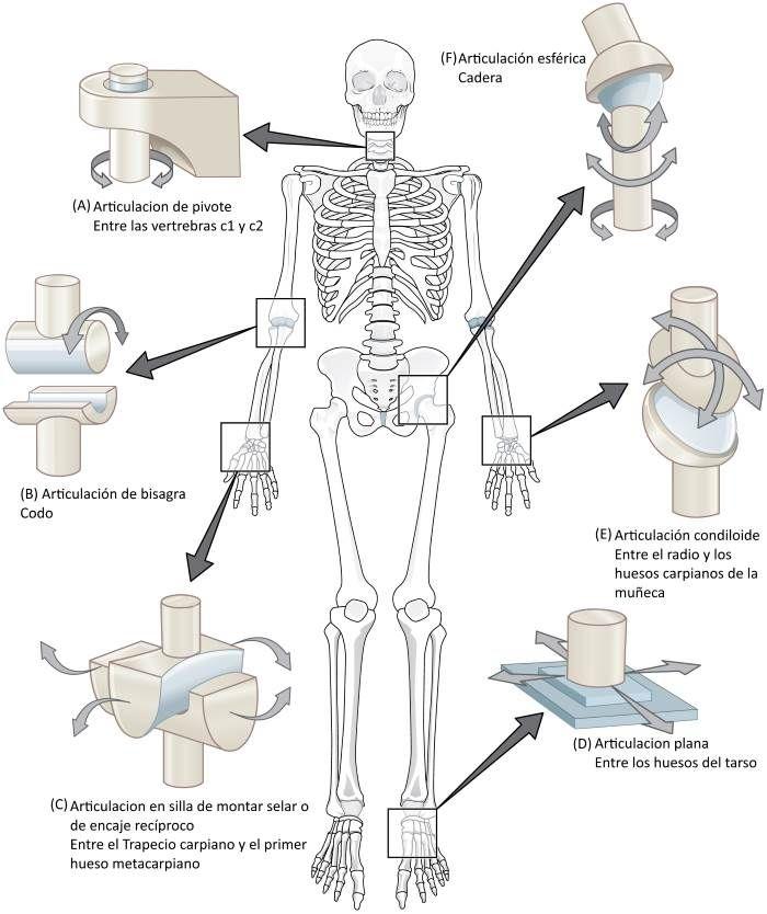 ¿Cuáles son las articulaciones del cuerpo humano?