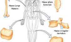 ¿Cómo se clasifican los huesos del cuerpo humano?