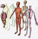 ¿Cómo funciona el cuerpo humano? (para niños)