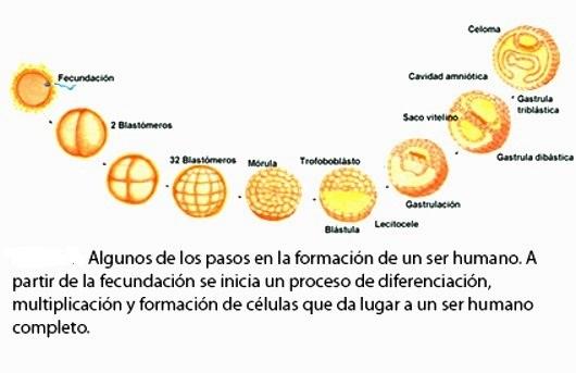 ¿Cómo se forma el cuerpo humano a partir de una célula?