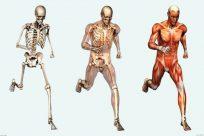 ¿Cuál es la estructura del cuerpo humano?