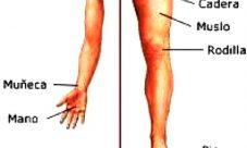 ¿Cuáles son las extremidades del cuerpo humano?