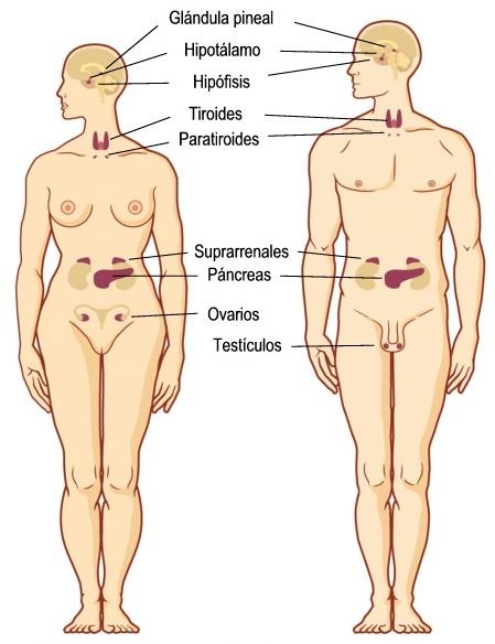 ¿Cuáles son las principales glándulas del cuerpo humano?