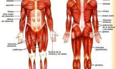 Principales músculos del cuerpo humano