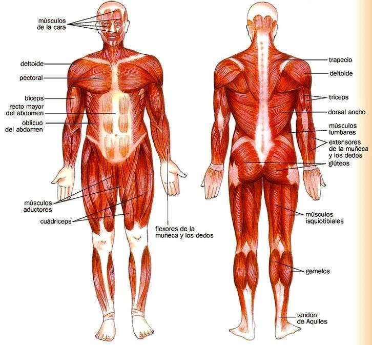 Principales músculos del cuerpo humano - Cuerpo humano