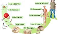 ¿Cuáles son los niveles de organización del cuerpo humano?