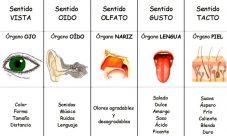 ¿Cuáles son los órganos de los sentidos del cuerpo humano?