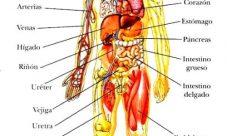 Principales órganos internos del cuerpo humano