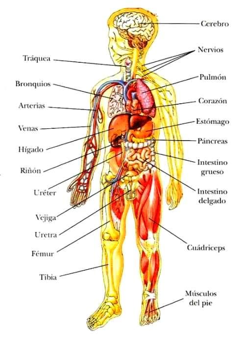 Principales organos internos del cuerpo humano
