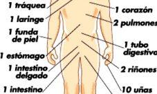 ¿Cuáles son las partes más importantes del cuerpo humano?