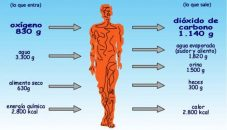 ¿Cuáles son las principales reacciones químicas en el cuerpo humano?