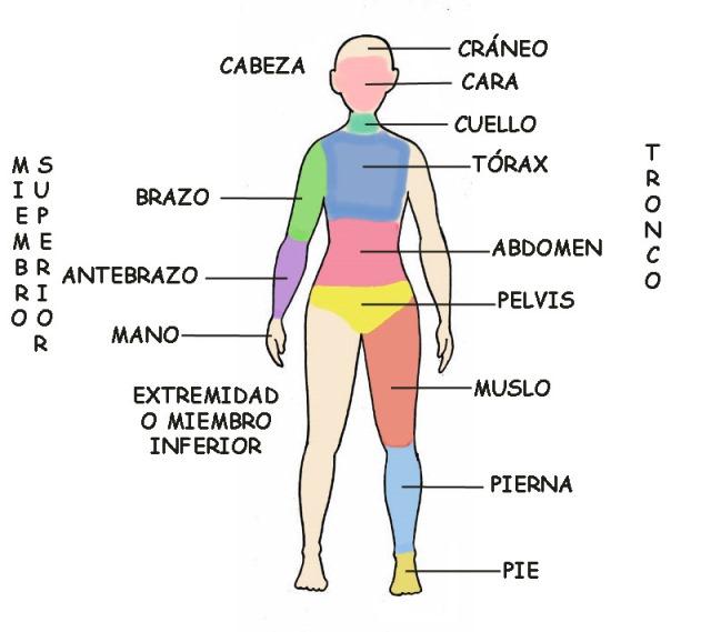 Principales segmentos o regiones del cuerpo humano