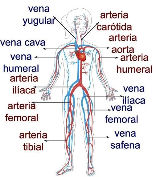 Principales venas y arterias del cuerpo humano