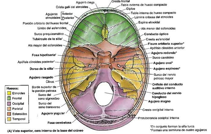 ¿Cuál es la base del cráneo?