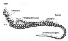 Columna vertebral de los mamíferos