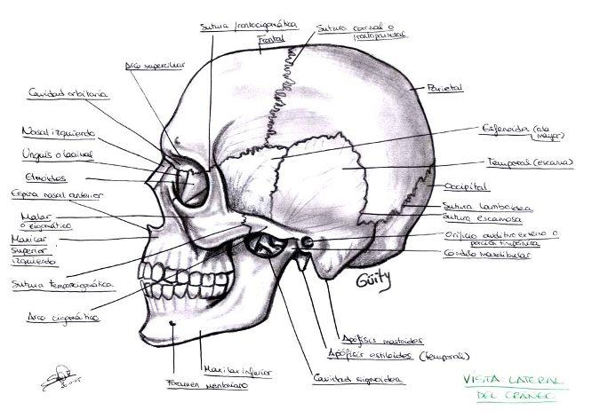 Cráneo humano y sus partes para colorear