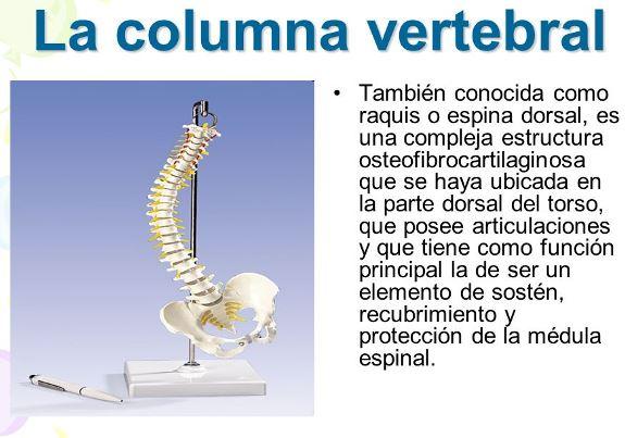 ¿Cuál es la columna vertebral?