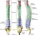 ¿Cuáles son las vértebras?