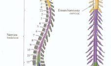Diferencias entre médula espinal y columna vertebral