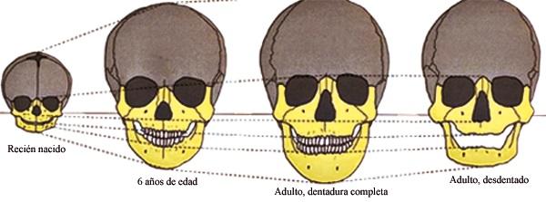 ¿Hasta qué edad crecen los huesos del cráneo?