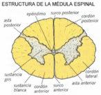 ¿Que órgano protege la columna vertebral?
