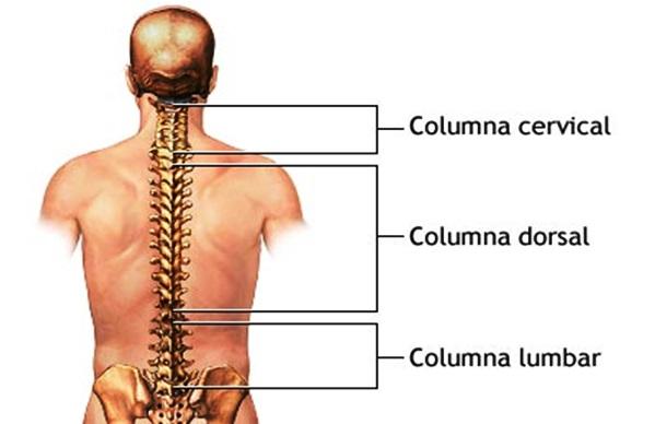 Partes de la columna vertebral