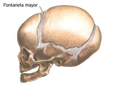 ¿Por qué el cráneo de los bebés es blando?